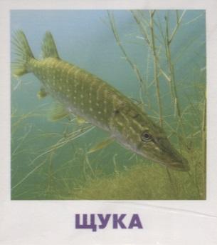 Малунова М. Умный малыш Пресноводные рыбы. Набор карточек для детей роджерс д пресноводные аквариумные рыбы